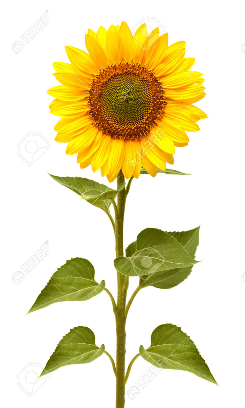 Flower of sunflower isolated on white background. Seeds and oil. Flat lay, top view - 142906391