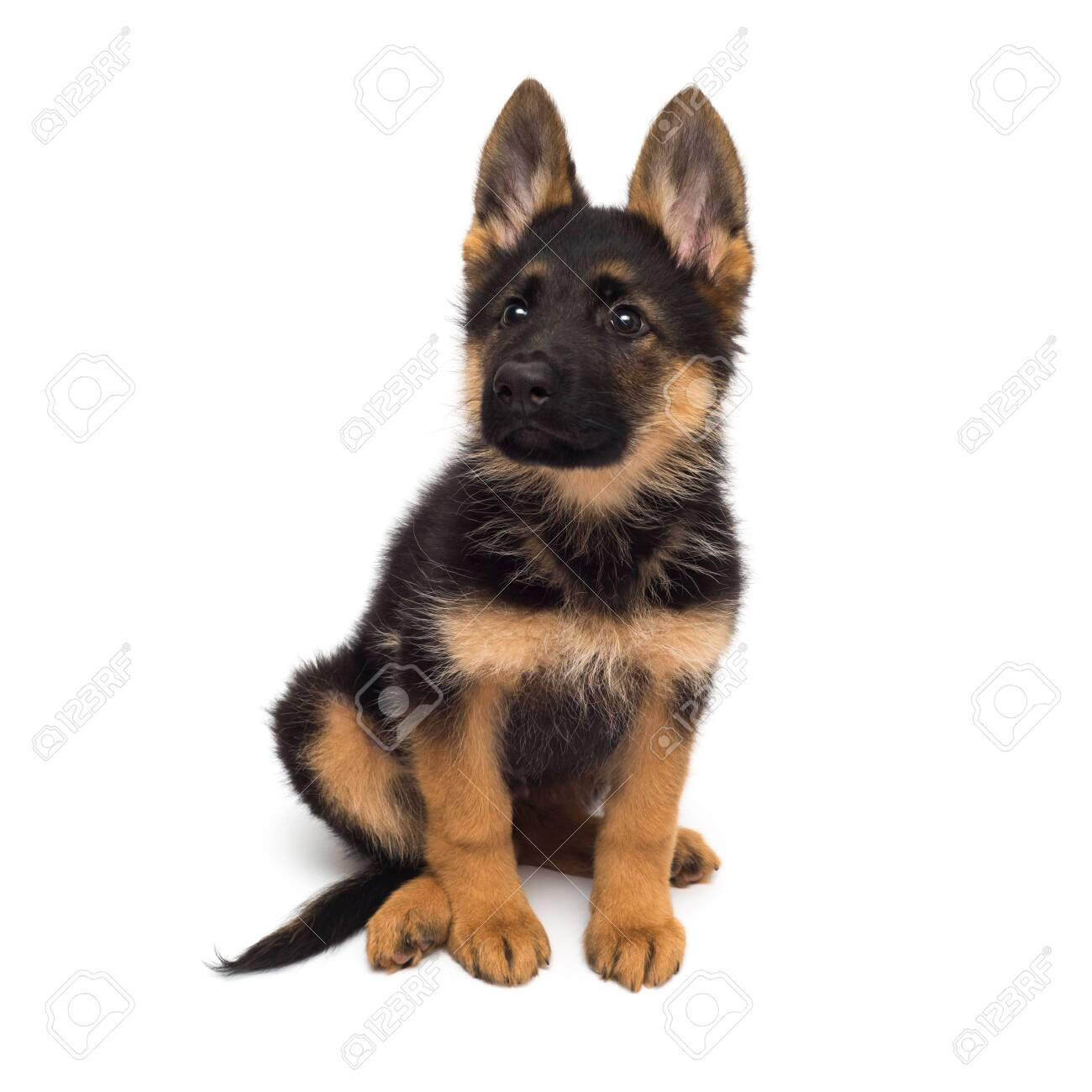 A Beautiful Puppy Is The German Shepherd Isolated On A White Stock Photo Picture And Royalty Free Image Image 142906412