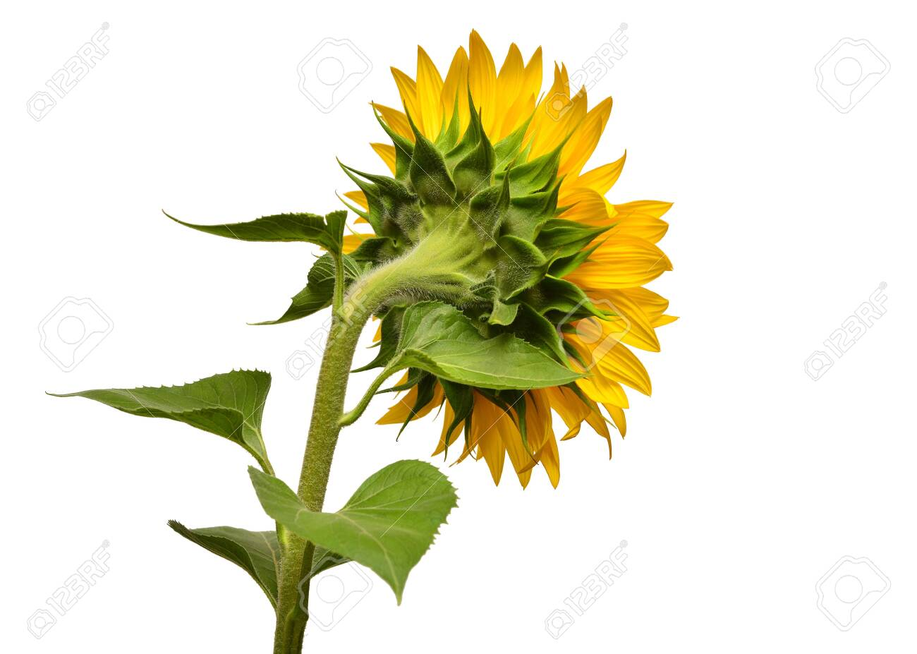 Sunflower turned sideways isolated on white background. Sun symbol. Flowers yellow, agriculture. Seeds and oil. Flat lay, top view. Bio. Eco. Creative - 143211660