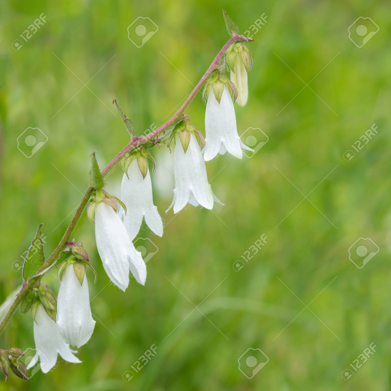 Flowers White Bells Stock Photo, Picture And Royalty Free Image ...