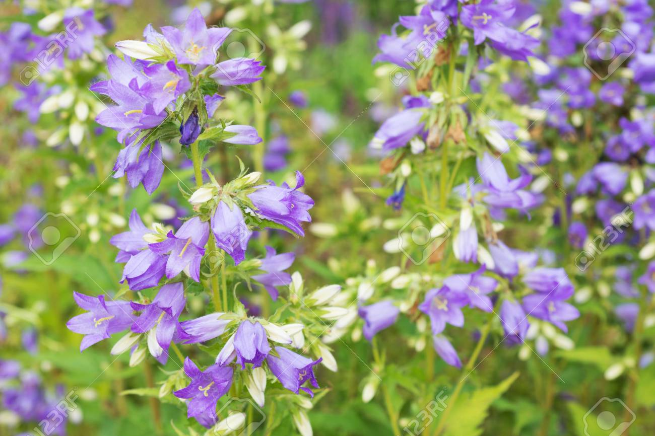 Flowers Purple Bell Stock Photo Picture And Royalty Free Image
