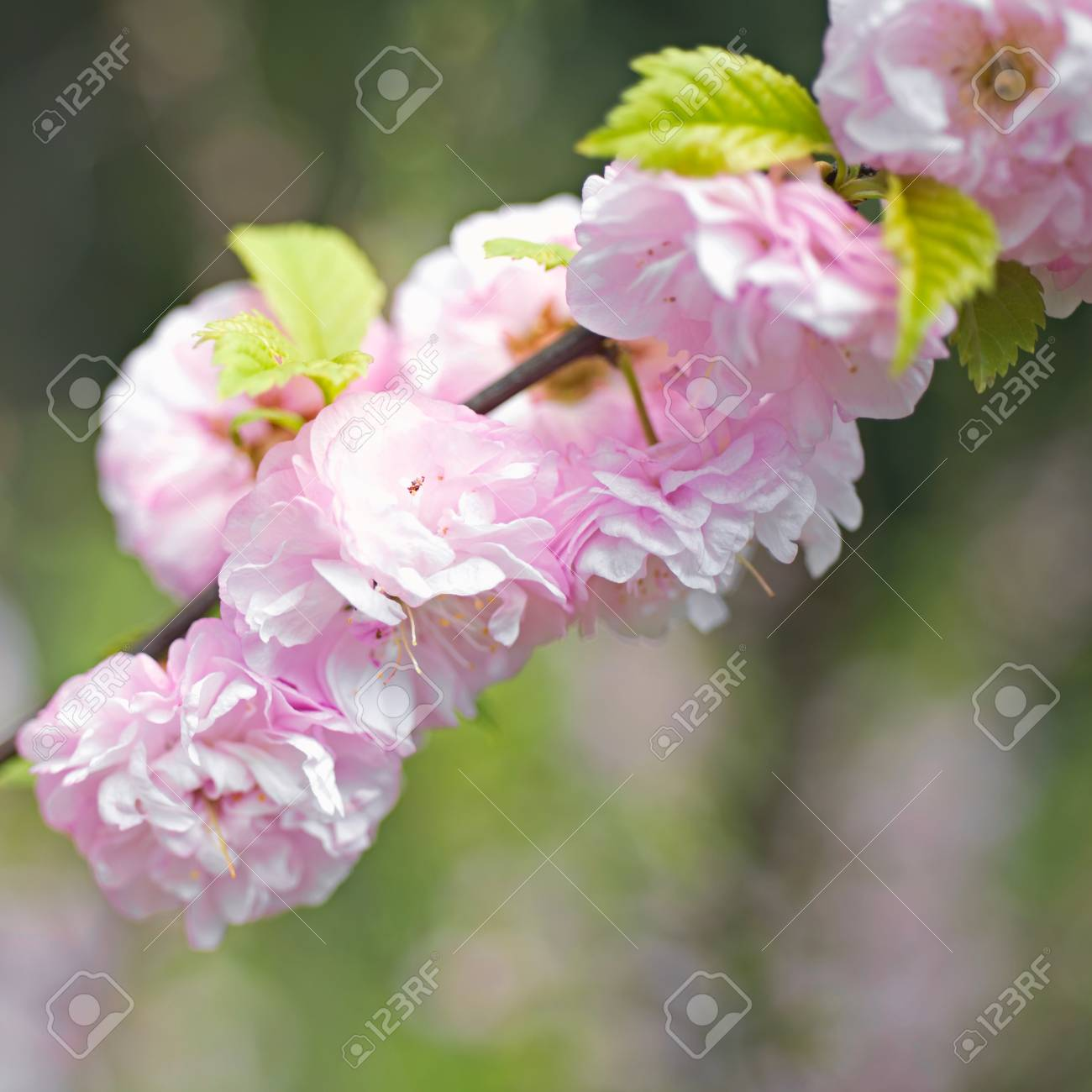 Flowering Trees In Spring Stock Photo Picture And Royalty Free