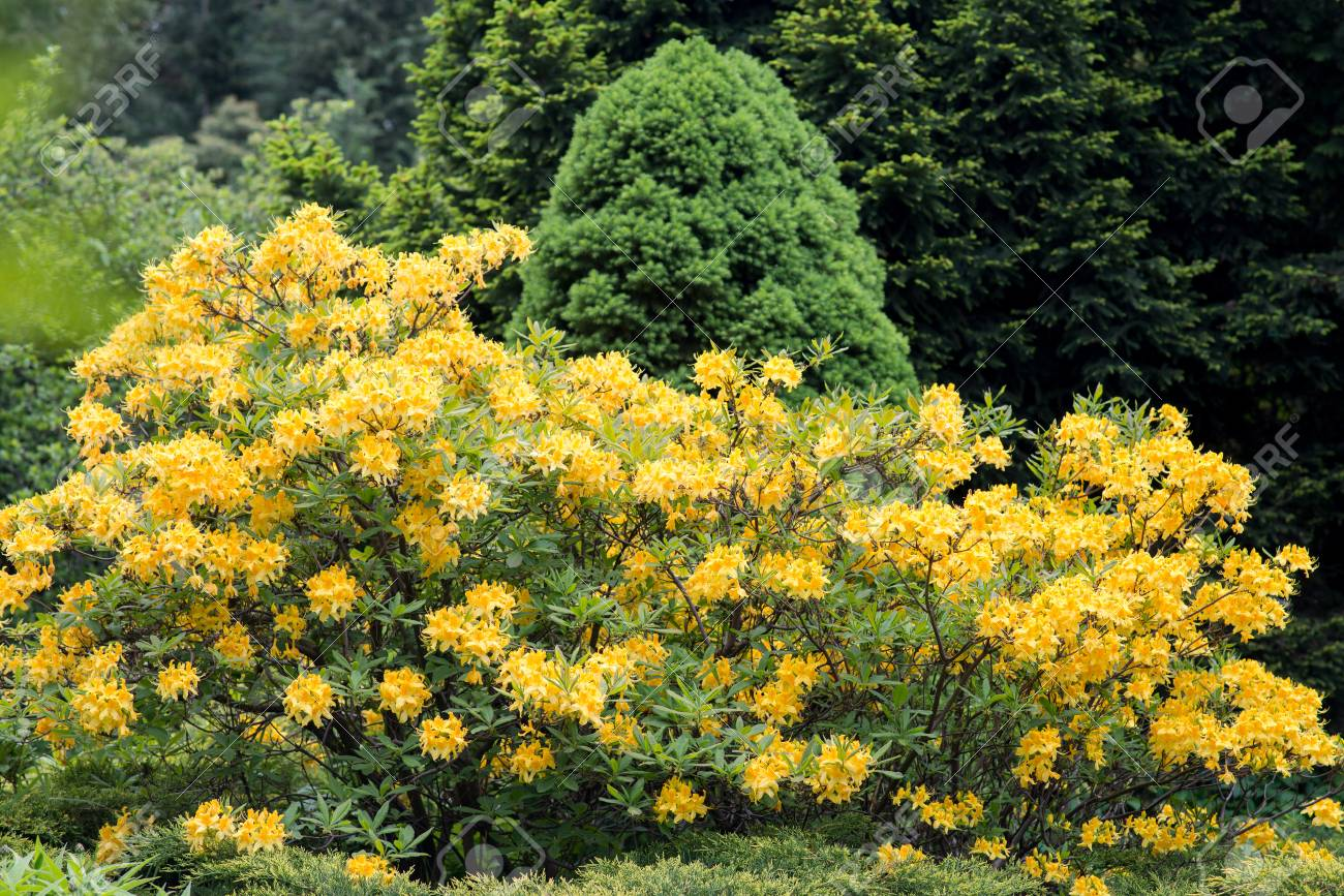 Rhododendron Bush Yellow Stock Photo Picture And Royalty Free