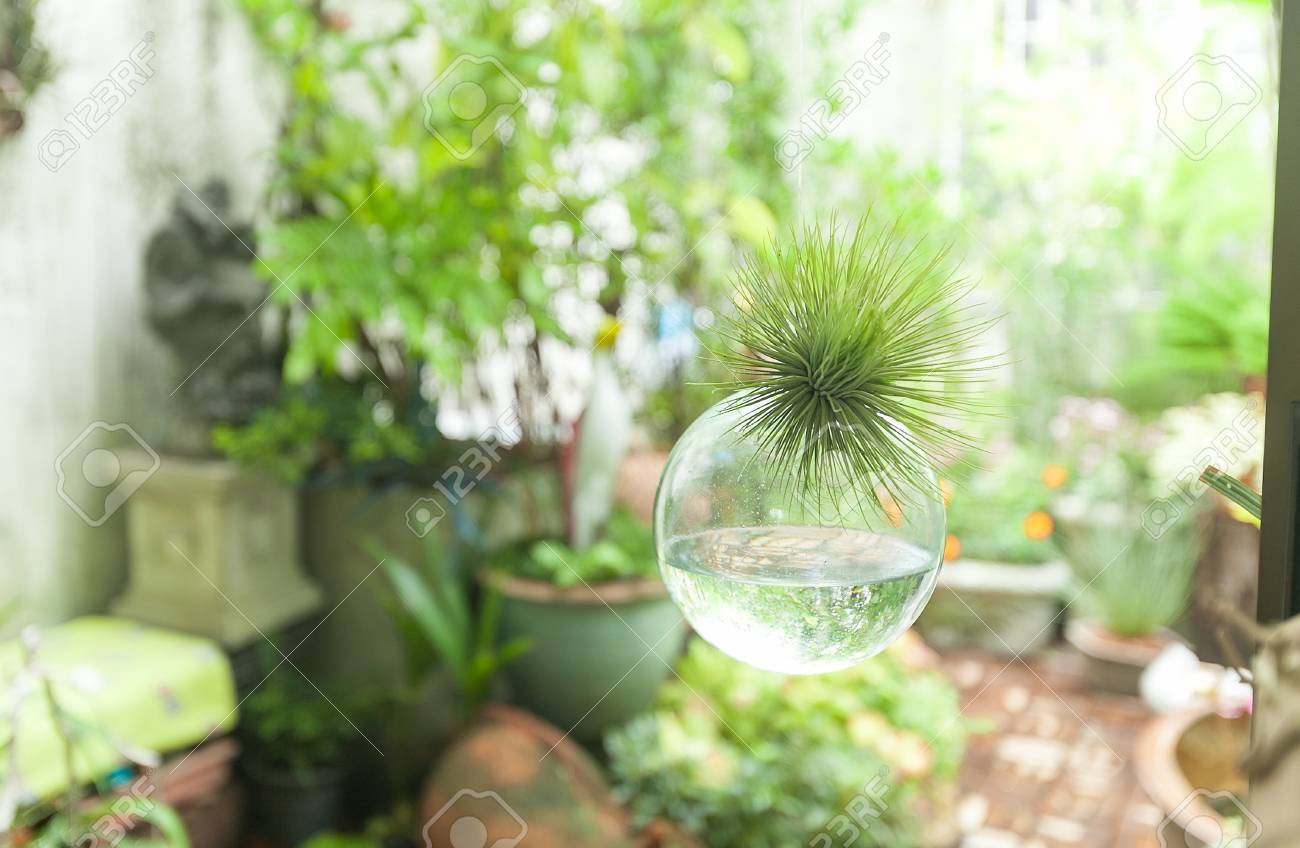 Hanging Glass Sphere Terrarium With A Tillandsia Inside Stock Photo