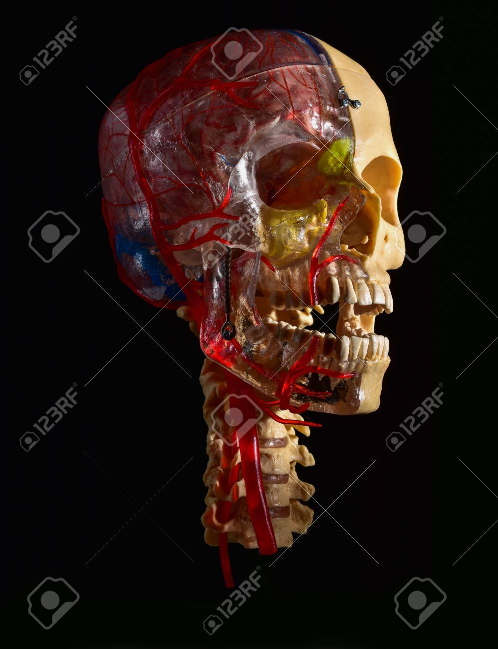 Anatomical Skeleton At The Head, Bones And Arteries. Anatomy.. Stock ...