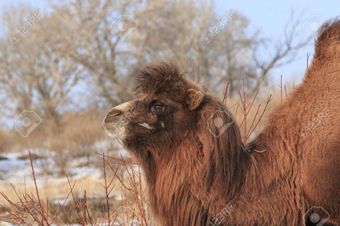 Two Humped Bactrian Camel In Xinjiang China Camelus Bactrianus Stock Photo
