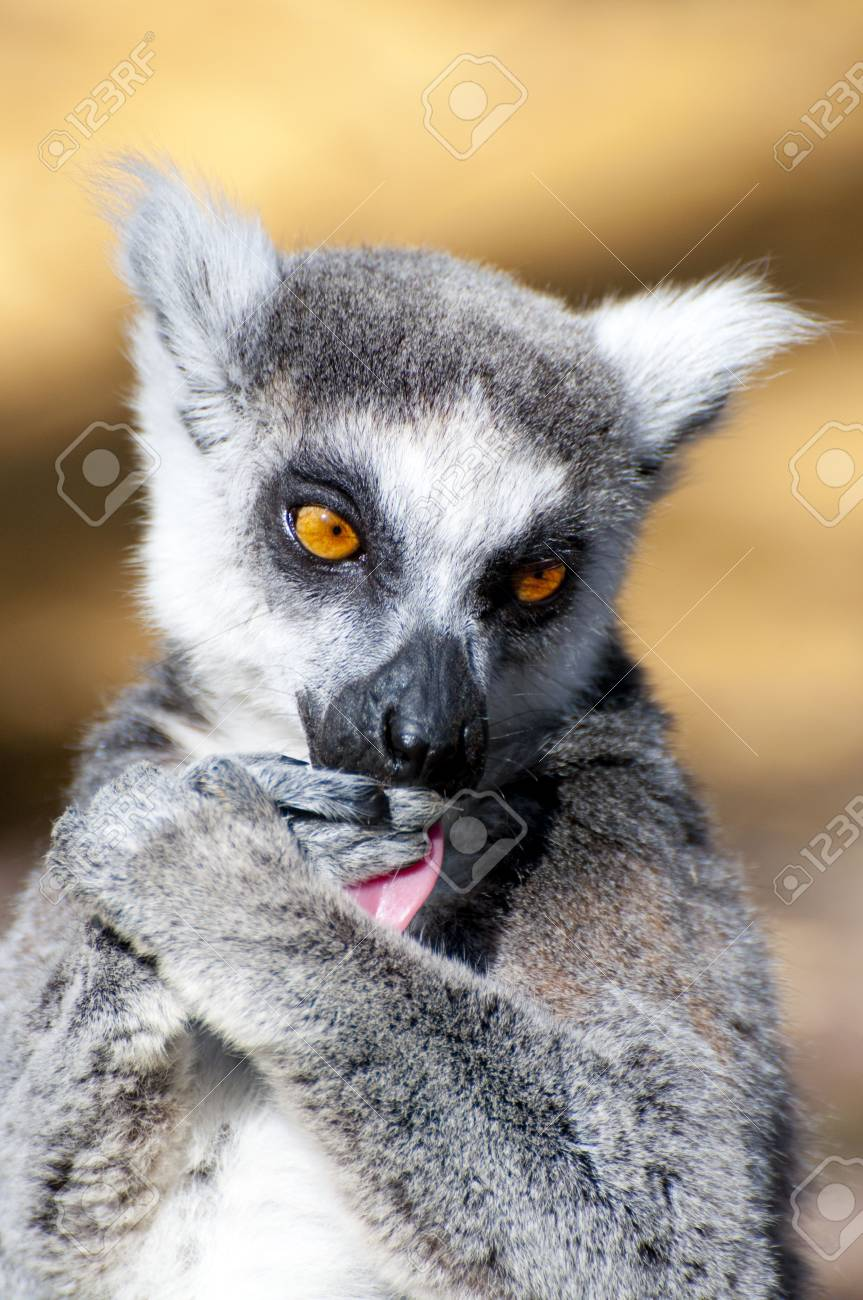 3ba8cff68c65 Picture of a nice lemur with beautiful eyes and skin. Stock Photo - 4528893
