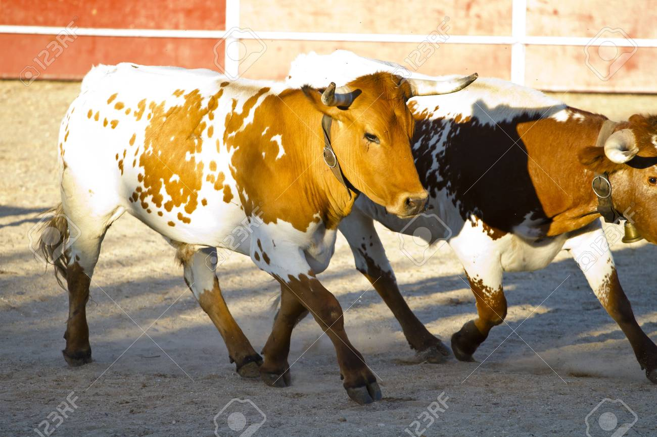 Fighting bull picture from Spain. Brown bull Stock Photo - 7816537