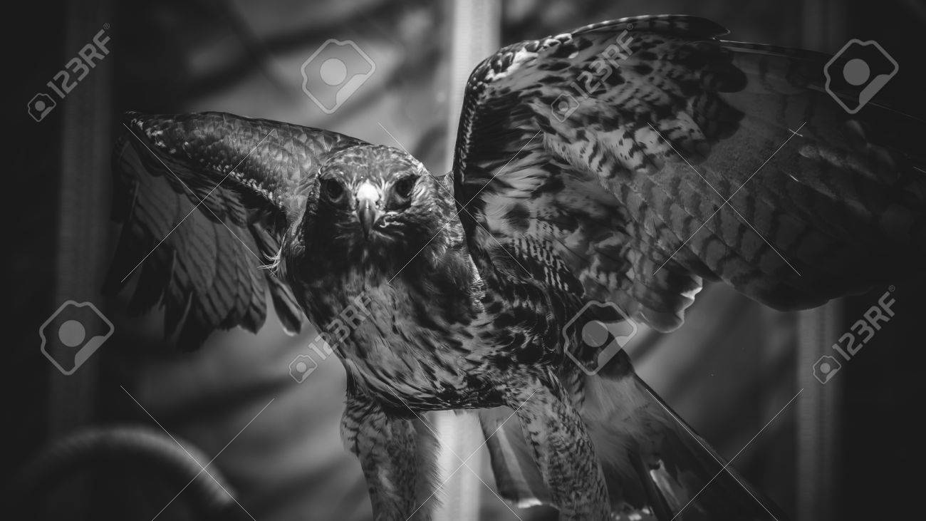Imperial eagle in black and white beautiful and powerful bird of great size and strength