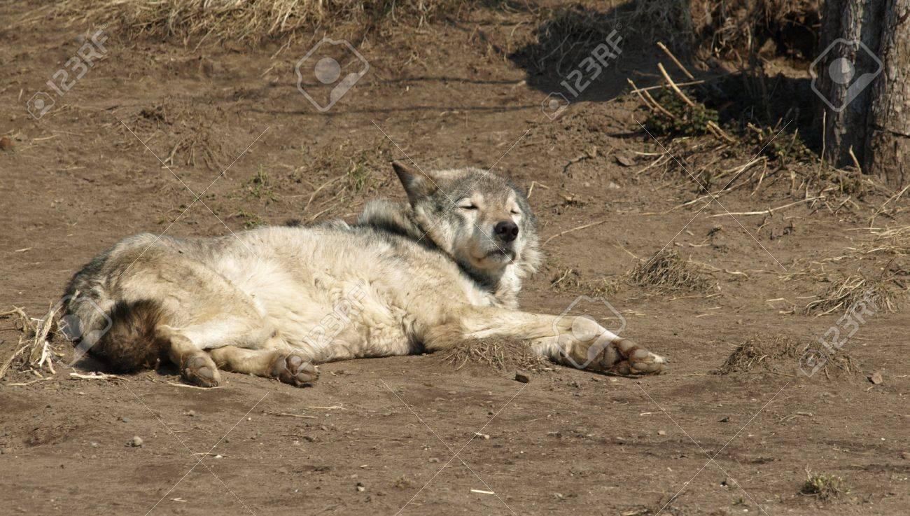 狼 は 眠ら ない