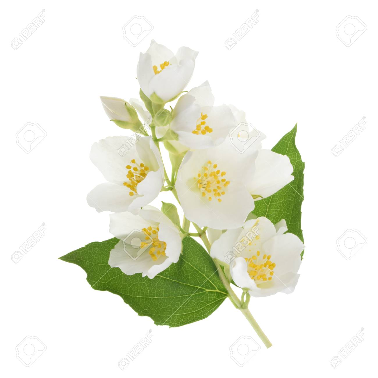 Jasmine Fleur Isole Sur Blanc Sans Ombre Banque D Images Et Photos