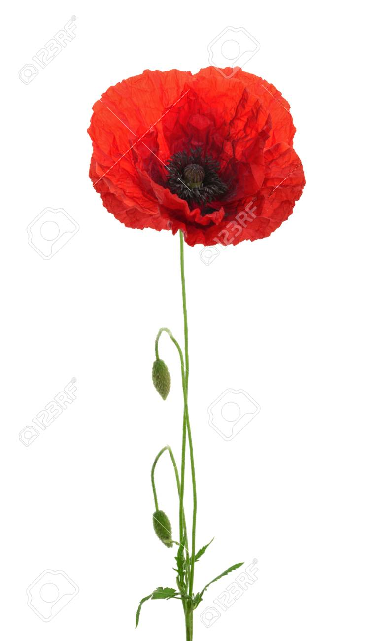 Poppy Flower On White Background Stock Photo Picture And Royalty
