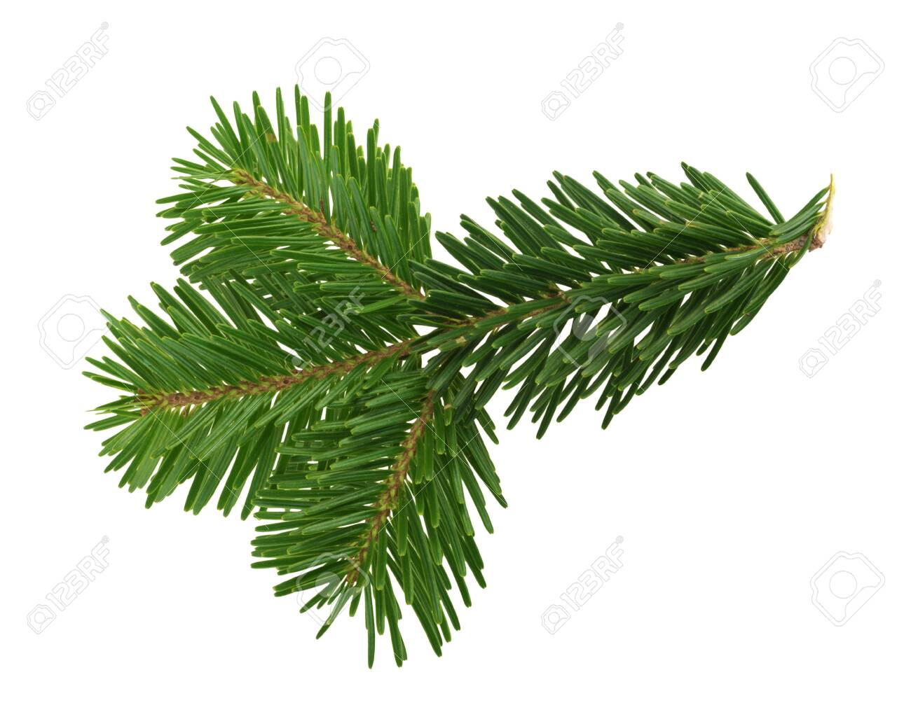 Fir tree isolated on white background - 136424311