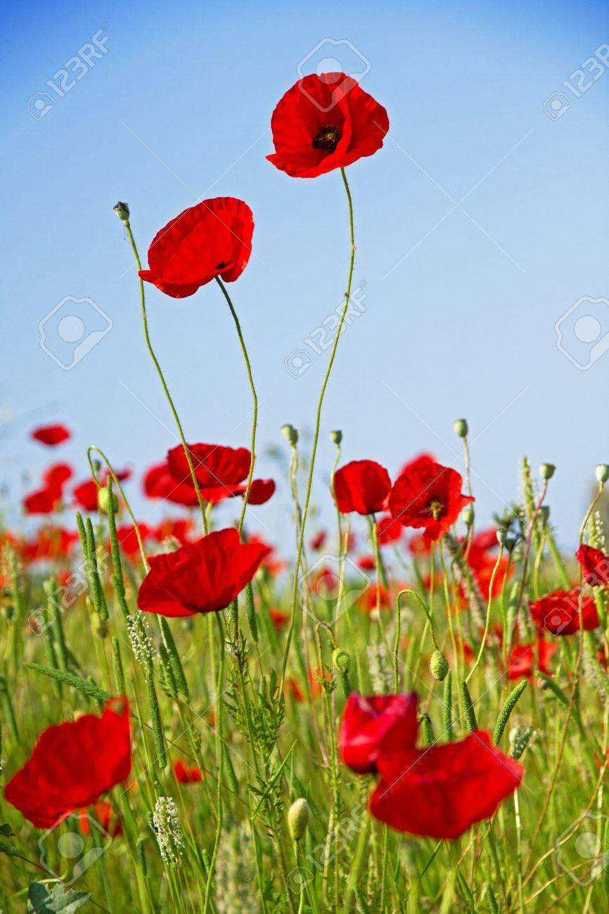 Poppies on a green field against the blue sky Stock Photo - 16311837