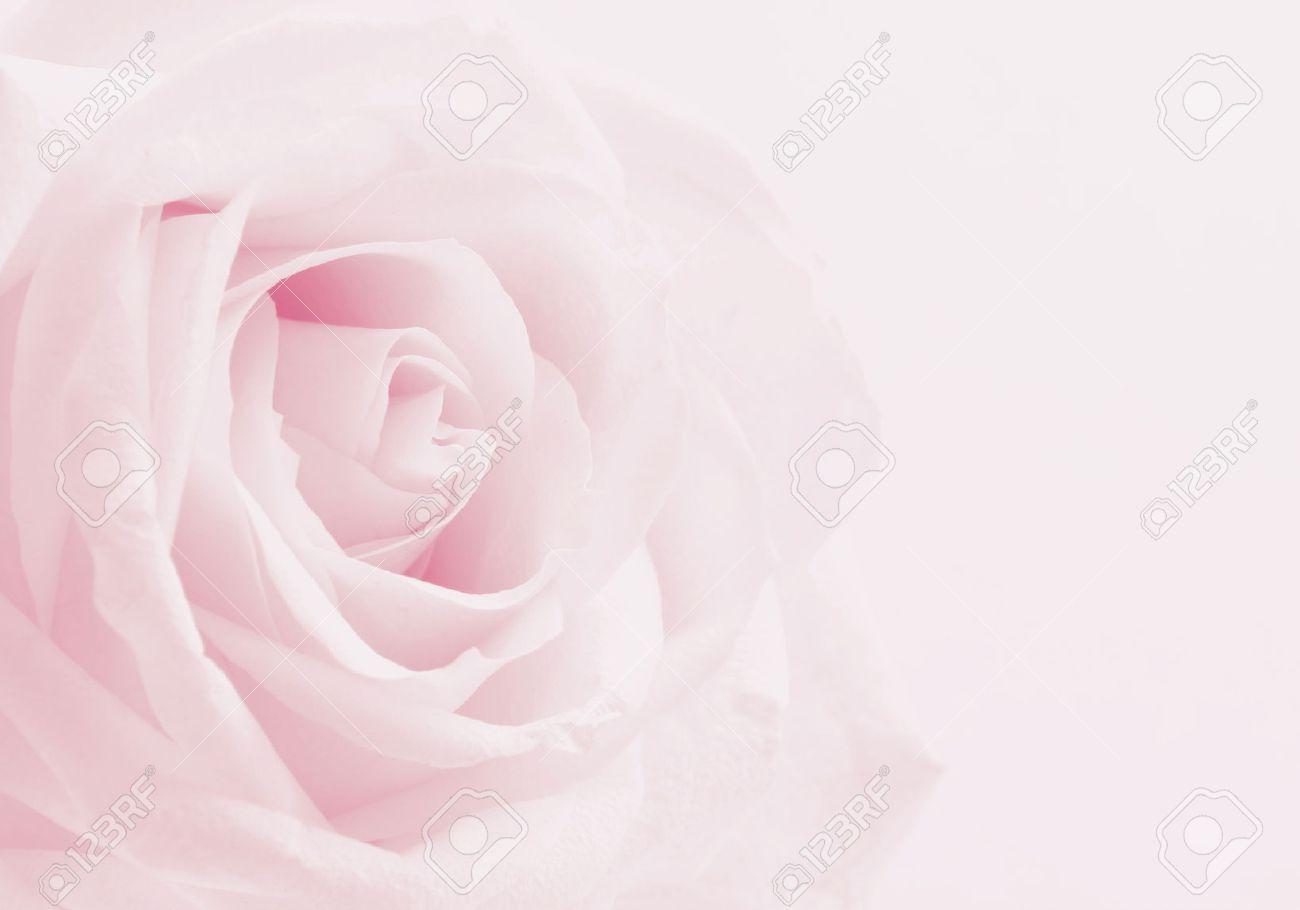 Pink Rose Close Up Kann Als Hochzeit Hintergrund Verwenden Weiches