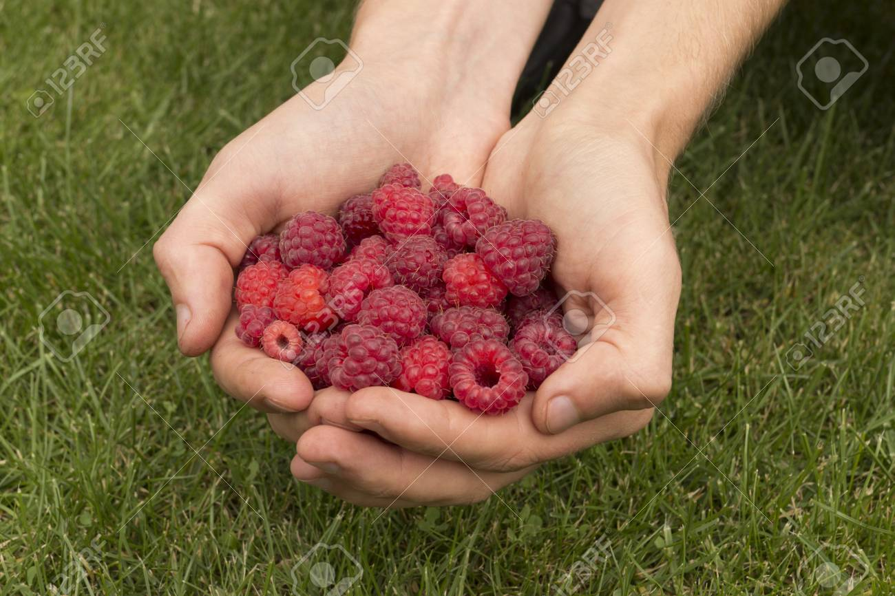 Ripe juicy raspberries in the outstretched hands Stock Photo - 15303613