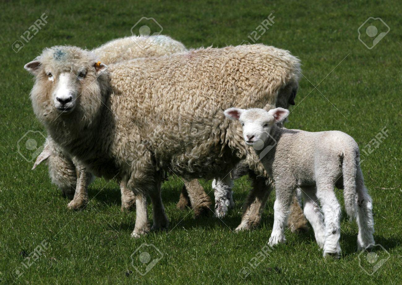 sheep with lamb on fresh green meadow Standard-Bild - 2537878