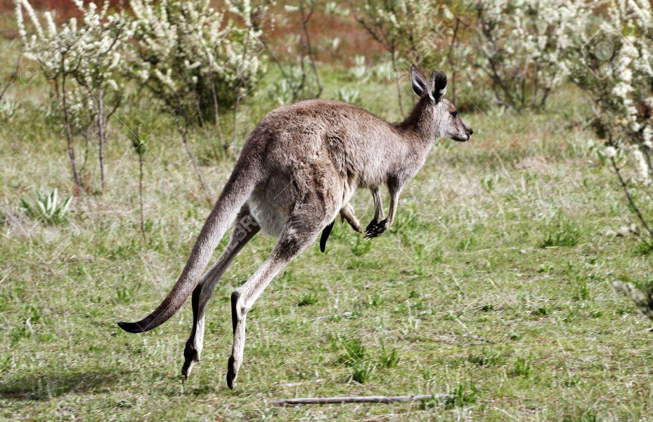 Australian Grey Kangaroo in the Tidbinbilla Nature Reserve, Canberra Stock Photo - 3858391