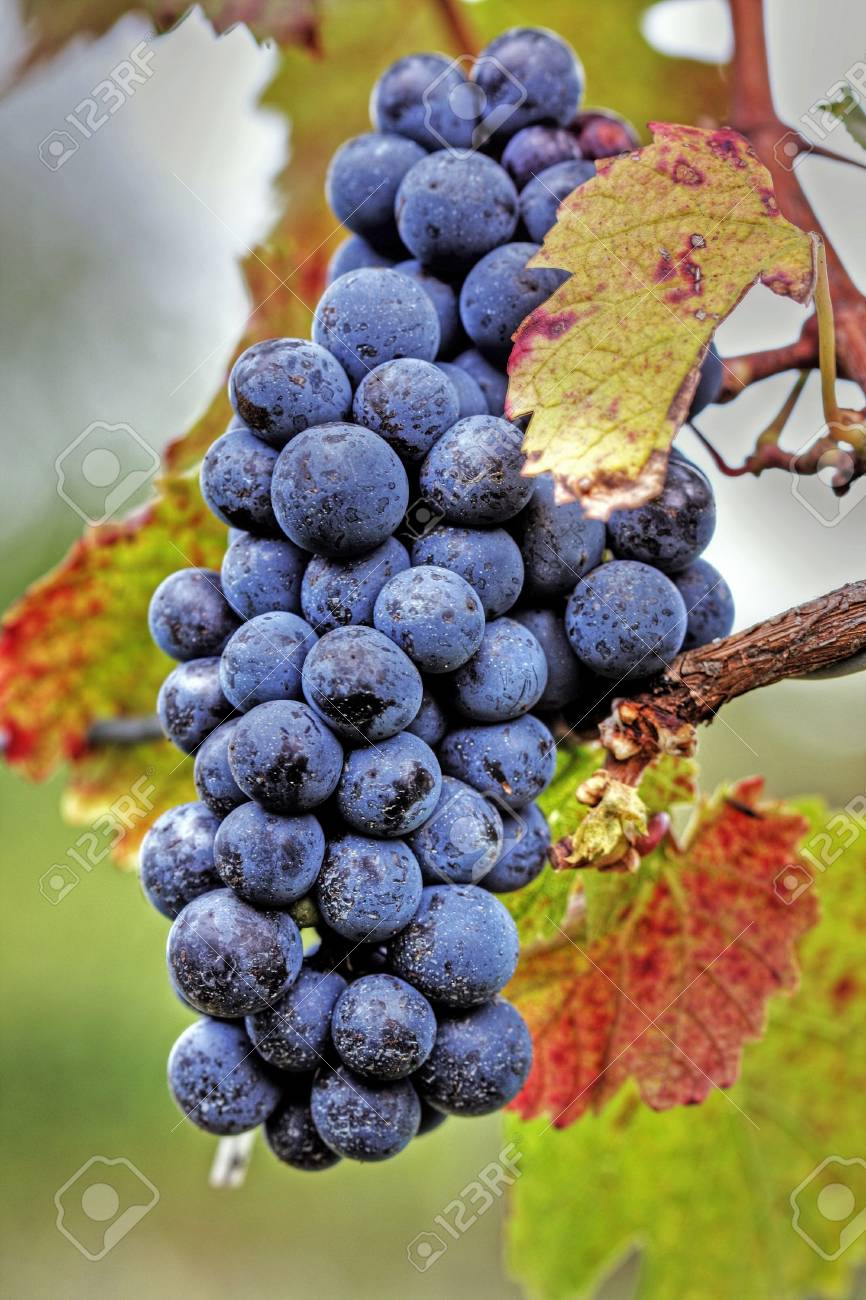 Pink wine grape cluster with leaves at an orchard Stock Photo - 4988856
