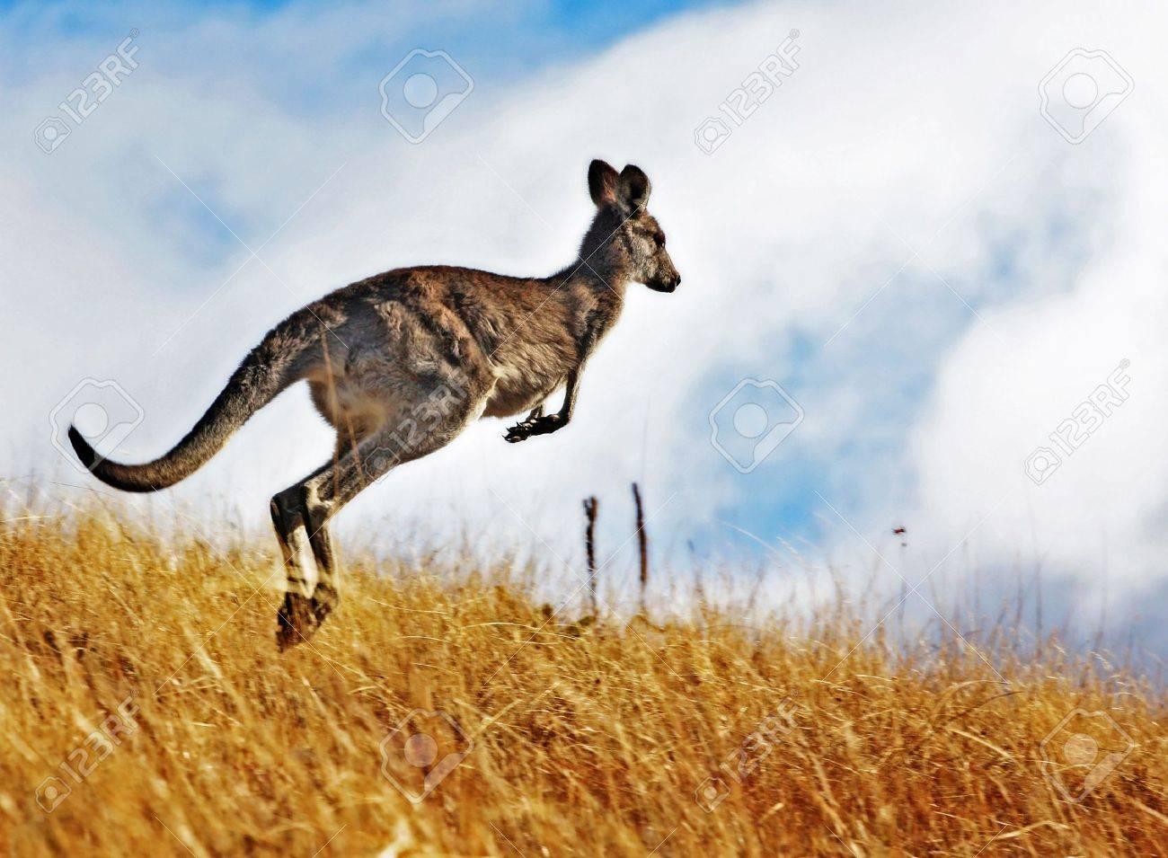 Australian Kangaroo, roaming free in the outback bush Stock Photo - 4988714
