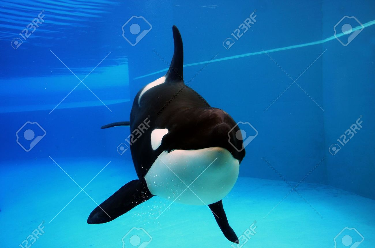 Orca Stock Photos Royalty Free Orca Images