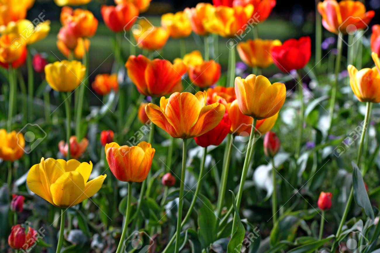 garden tulip during a flower festival Stock Photo - 5637387