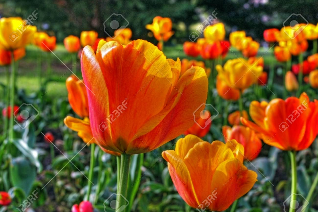 garden tulip during a flower festival Stock Photo - 5637386