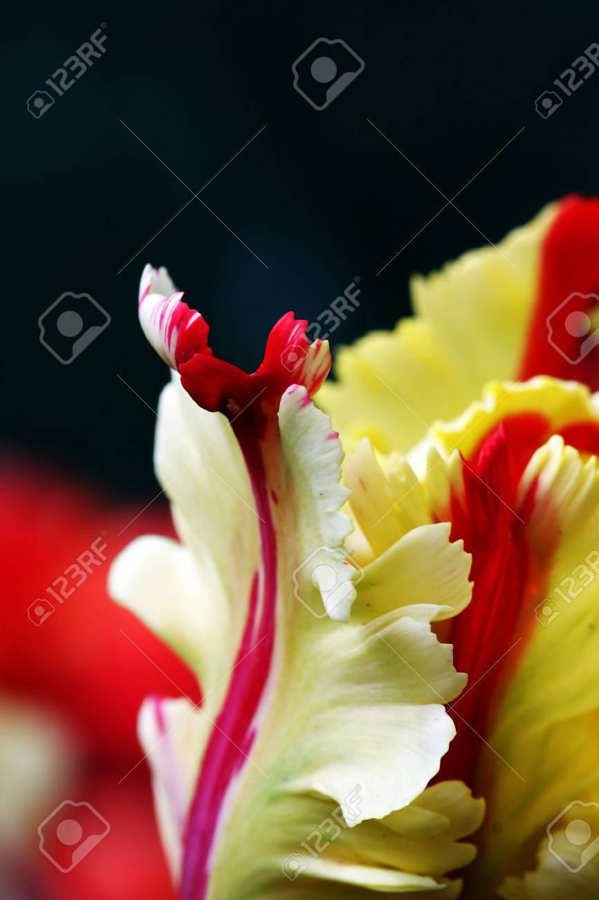 closeup of a colorful tulip in springtime Stock Photo - 5790913