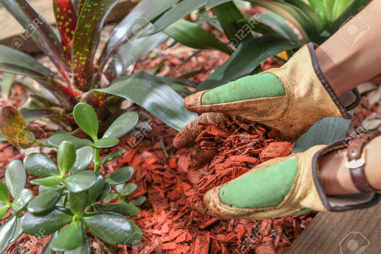 Mulching Garden Beds With Red Cedar Wood Chip Mulch Stock Photo