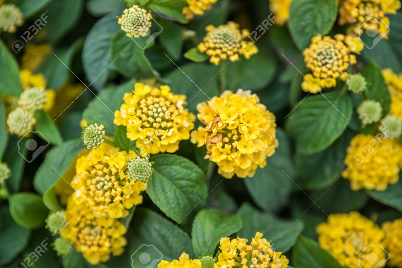 Top View Of Yellow Lantana Camara Or In Different Names With Stock