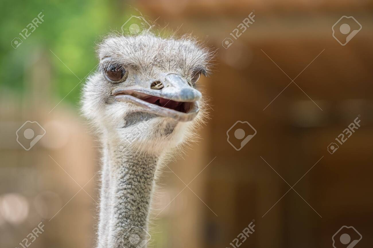 Ostrich Close up portrait with neck, Close up ostrich head against dark background. Struthio camelus. - 123838428