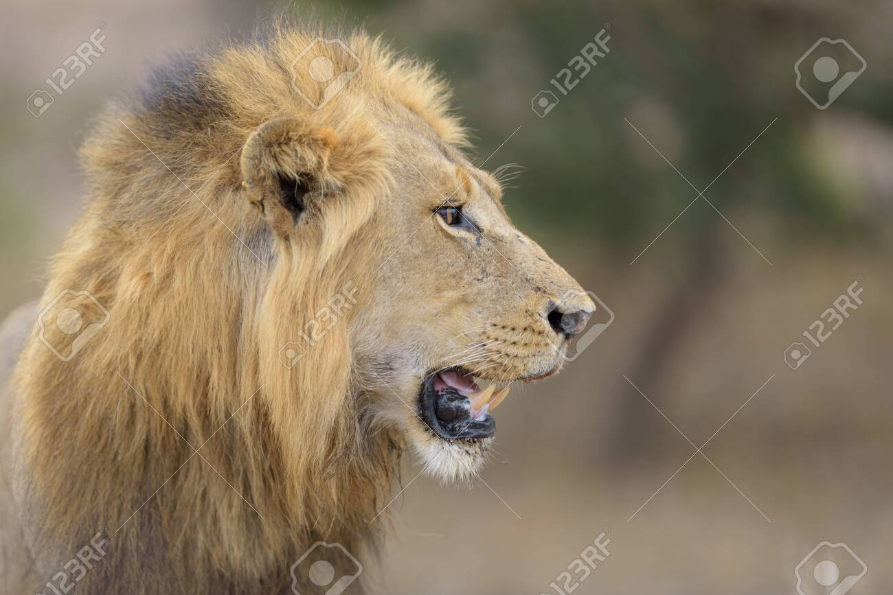 Male lion in the wilderness of Africa - 143334430