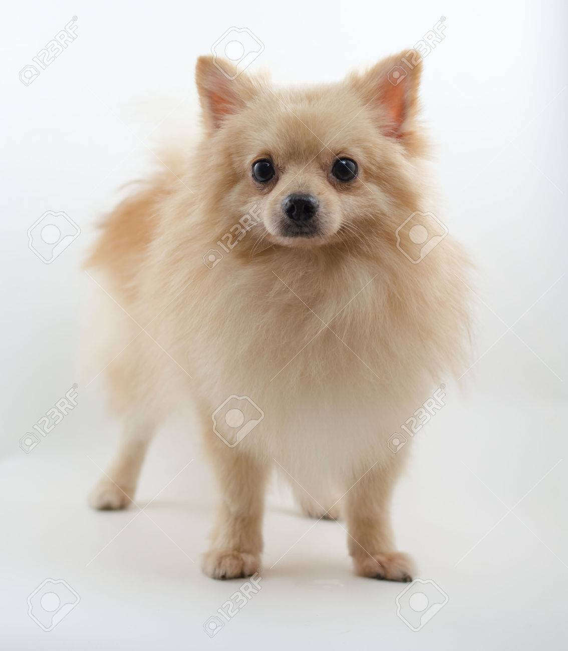 Pomeranian Dog Sitting Stock Photo Picture And Royalty Free Image