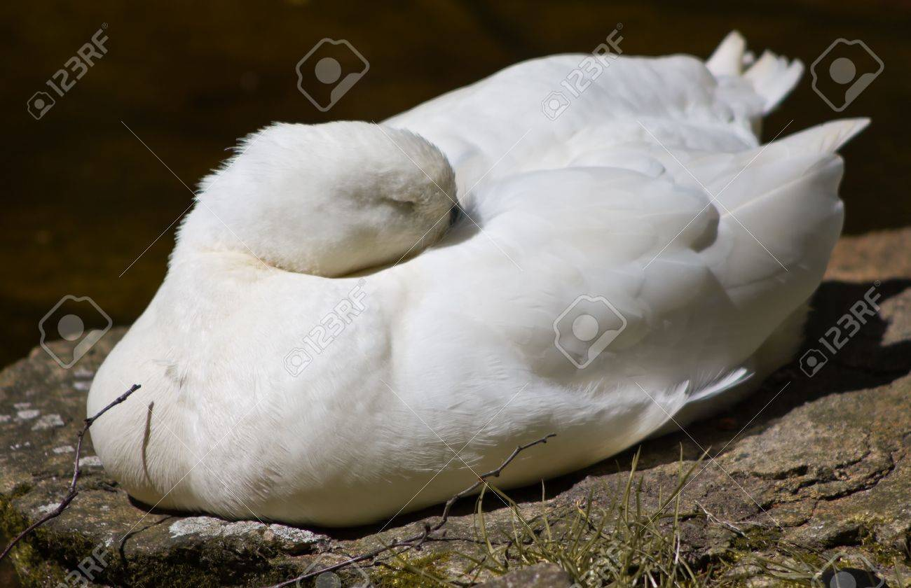 The Sleeping Swans >> Sleeping Swan Stock Photo Picture And Royalty Free Image Image