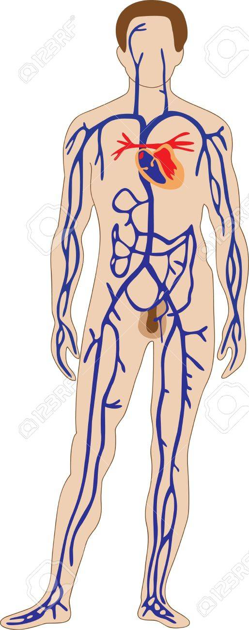 The Schematic Representation Of The Human Venous System Royalty Free ...