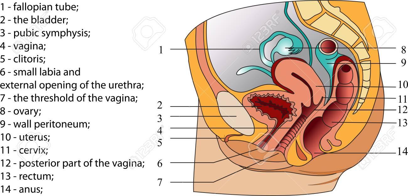 Großartig Fortpflanzungsorgane Organe Ideen - Anatomie Von ...