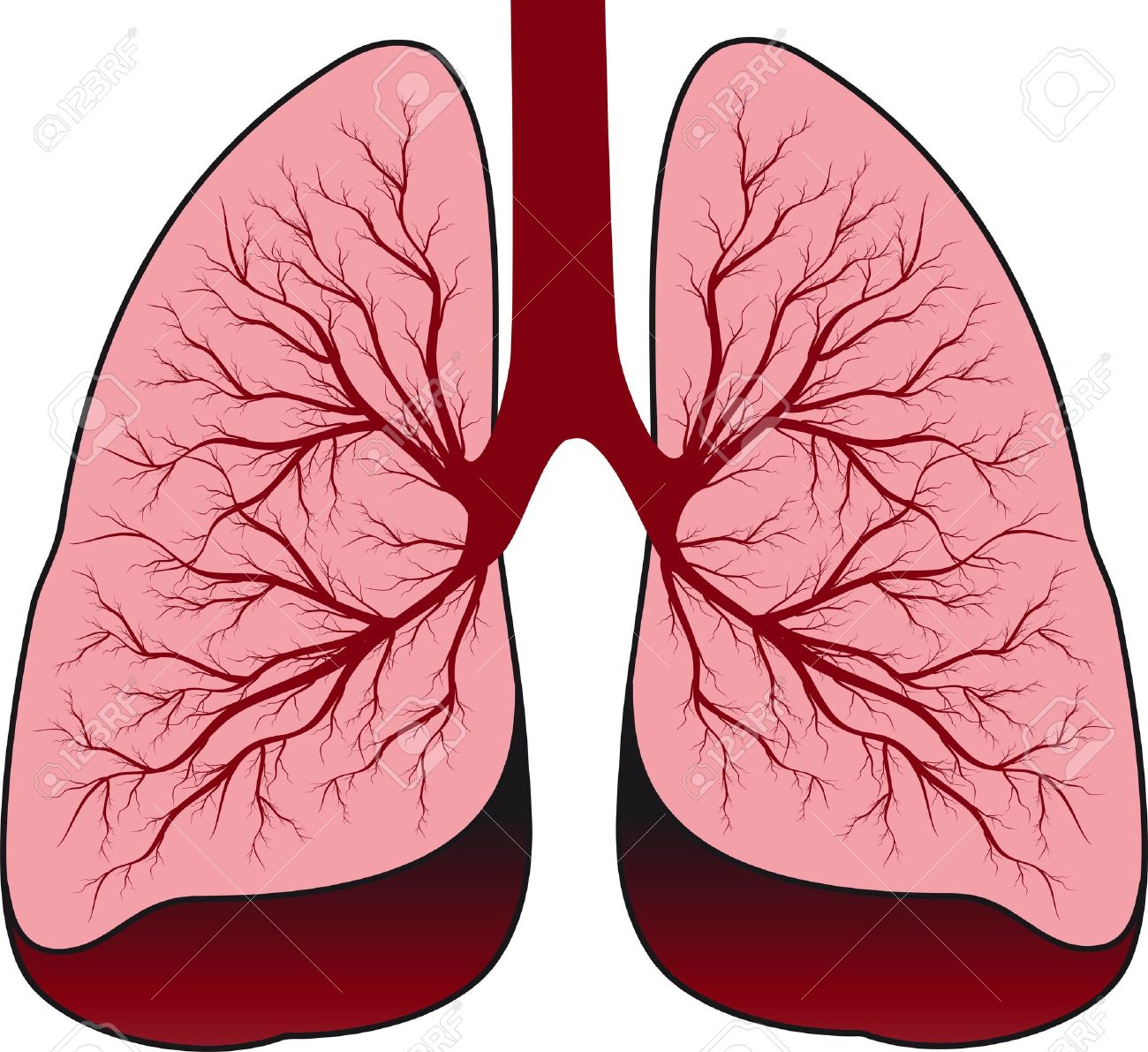 bronchial system human lungs royalty free cliparts, vectors, and, Cephalic Vein