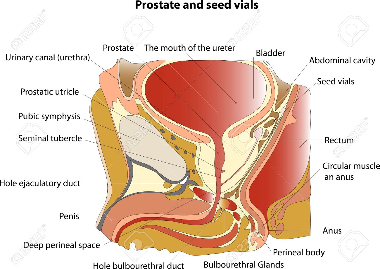 Prostate And Seminal Vesicles Educational Poster Royalty Free ...