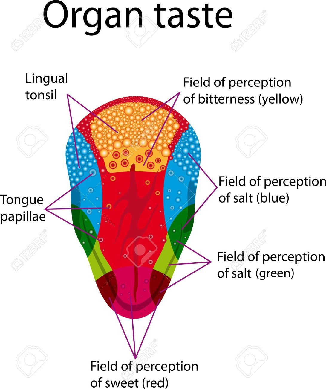 Educational posters depicting the distribution of areas of human tongue  Organ taste Stock Vector - 13453911
