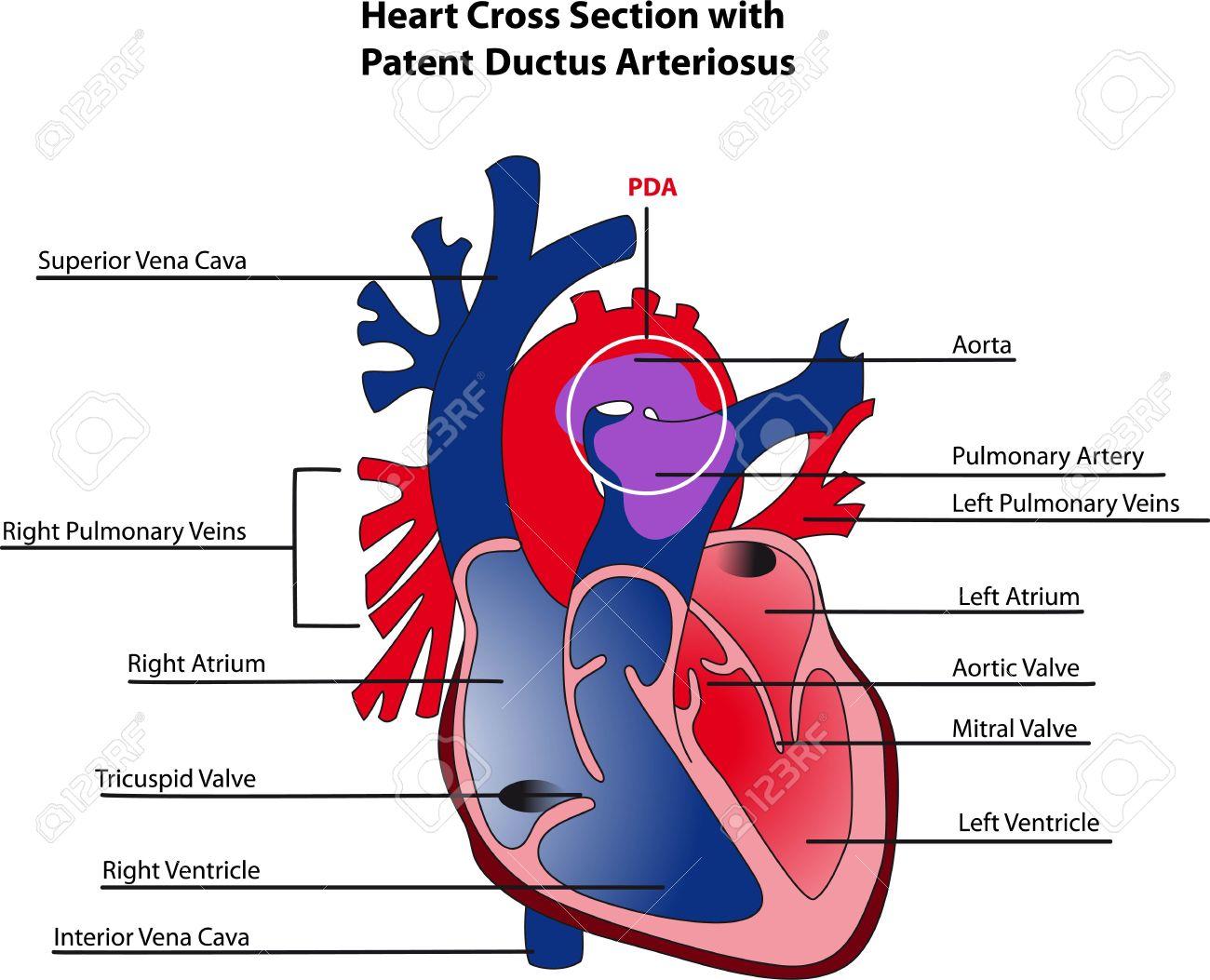 Ductus Arteriosus Anatomy Ductus Arteriosus Heart