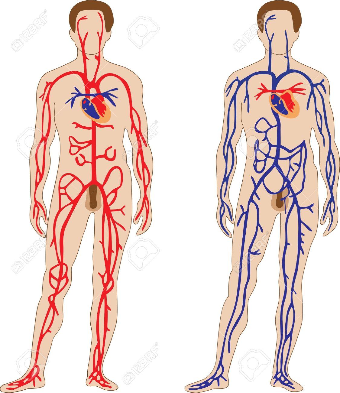 La Representación Esquemática Del Sistema Cardiovascular Humano ...