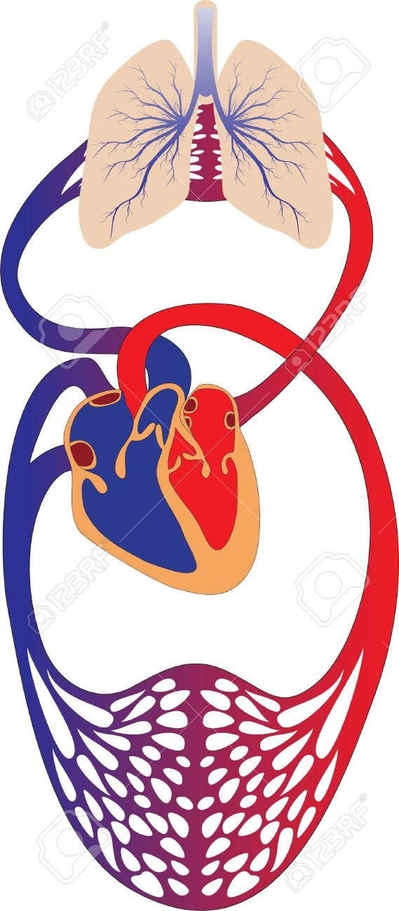 schematic representation of the human circulatory system royalty rh 123rf com circulatory system clipart free Circulatory System Labeled