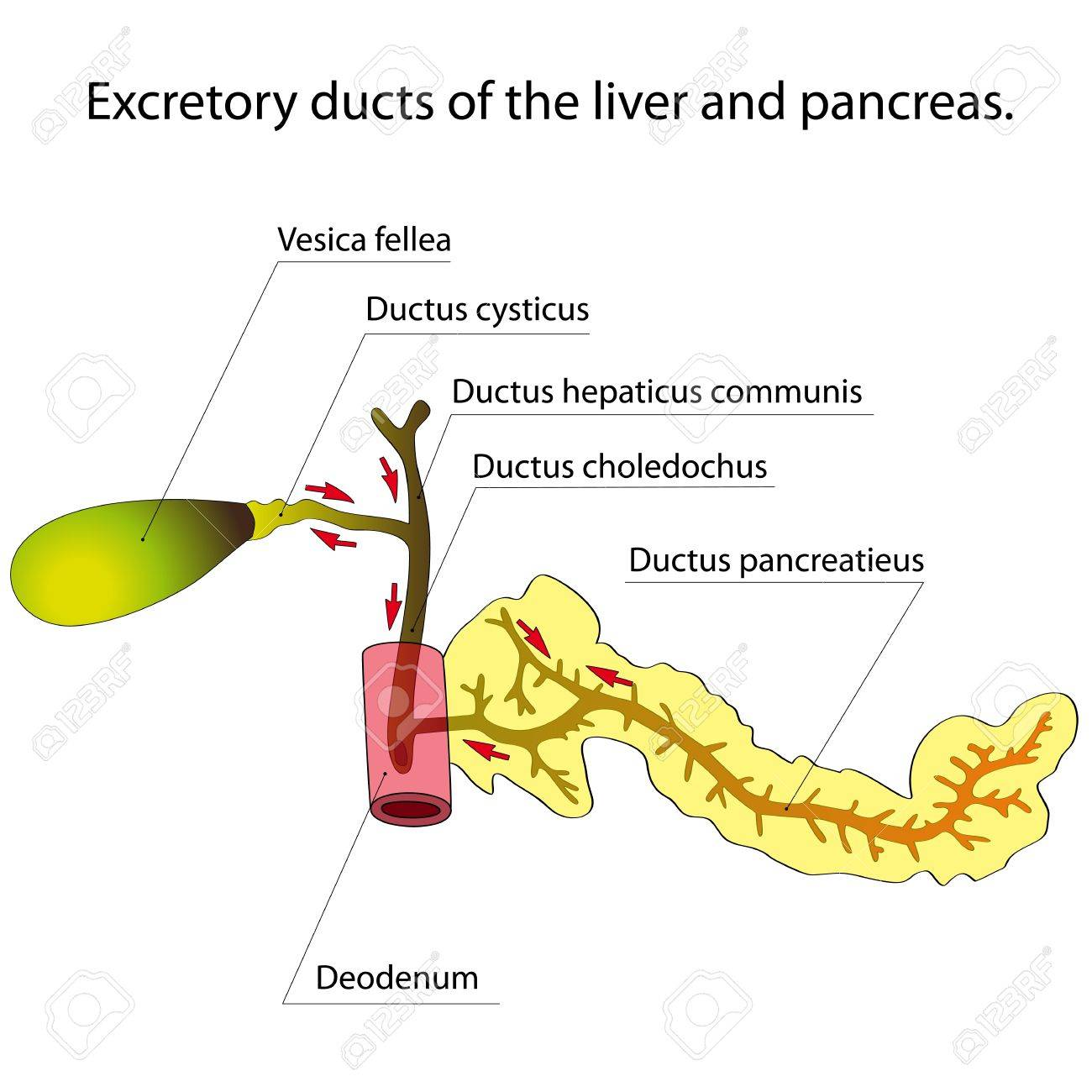Excretory Ducts Of The Liver And Pancreas Arrows Indicate The