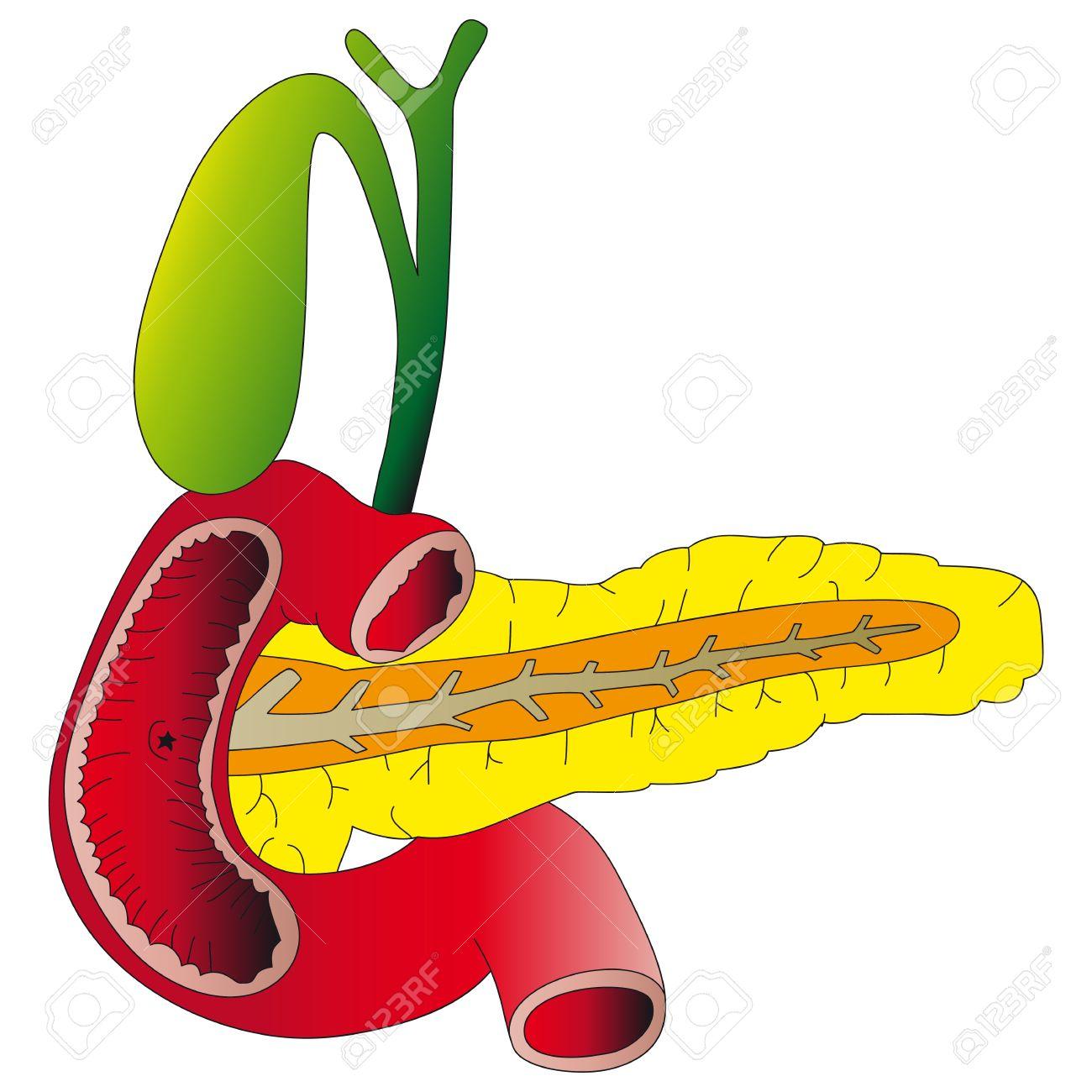 Human digestive organs  the pancreas, gallbladder, duodenum Stock Vector - 16438911