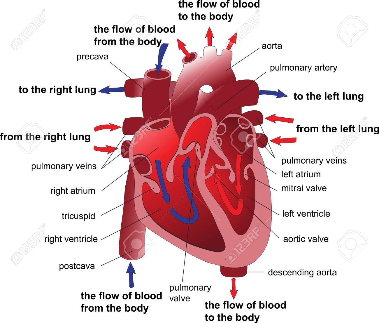 Human heart cross section  Poster Stock Vector - 16438916