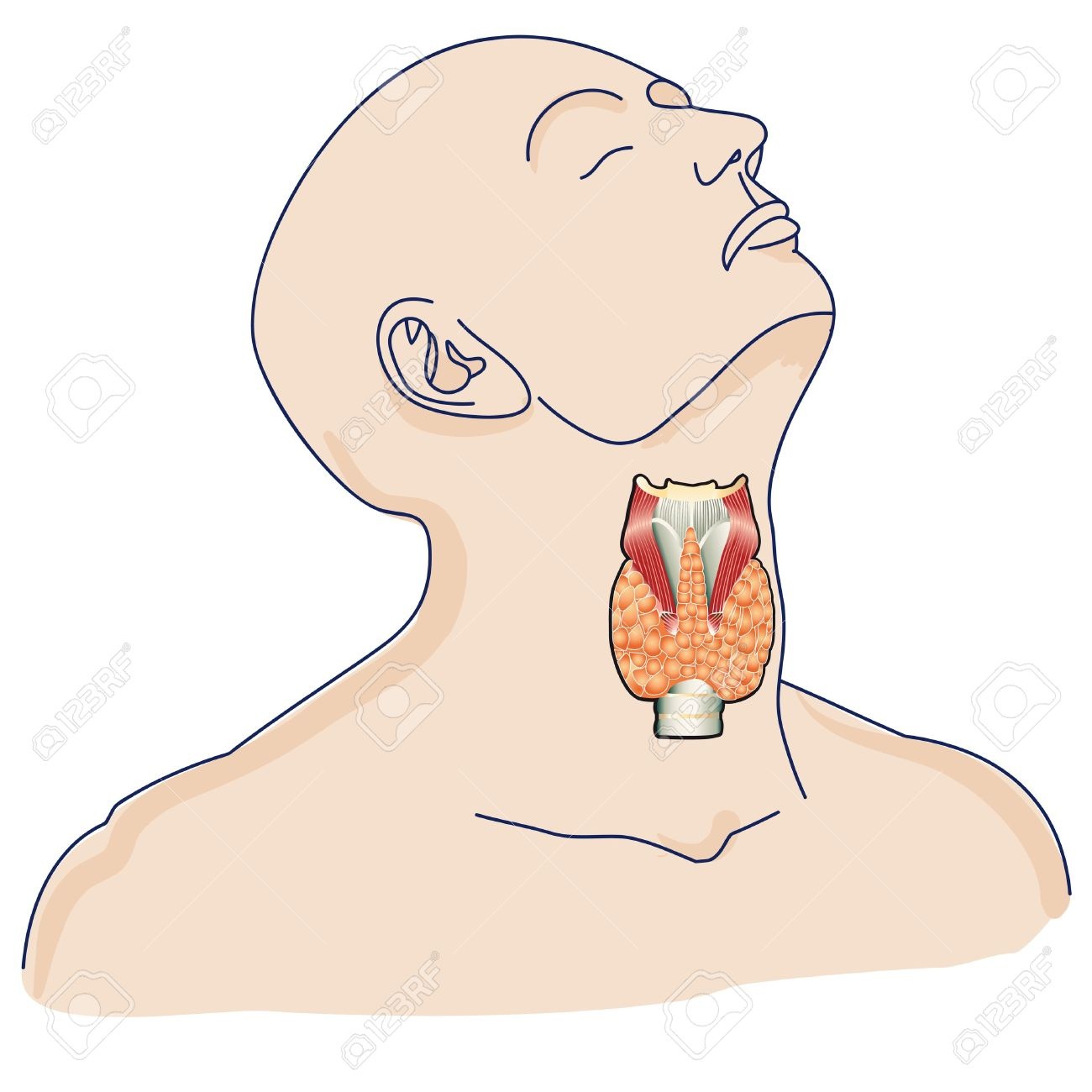 The Location Of The Thyroid Gland In The Human Body. Royalty Free ...