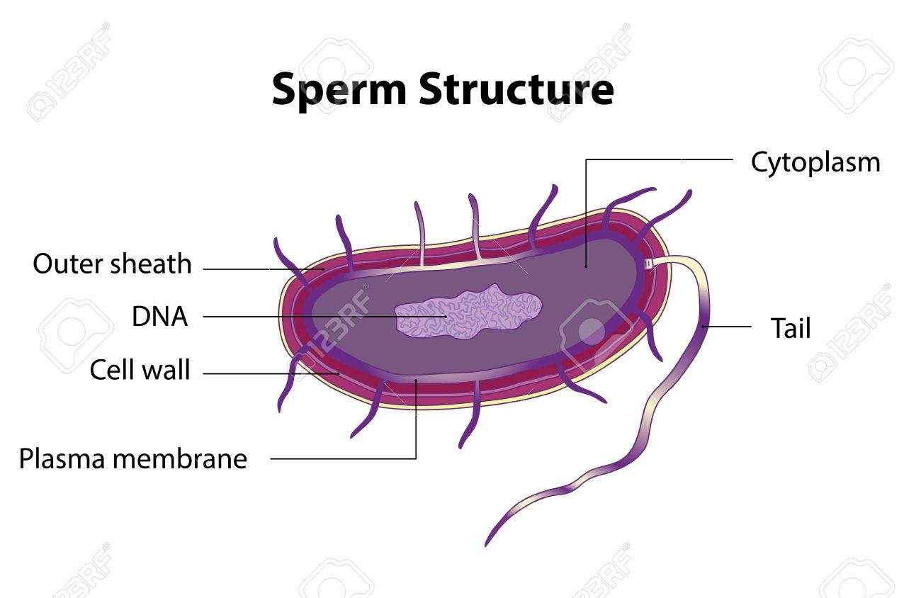 The structure of the sperm cell  Medical poster Stock Vector - 20011763