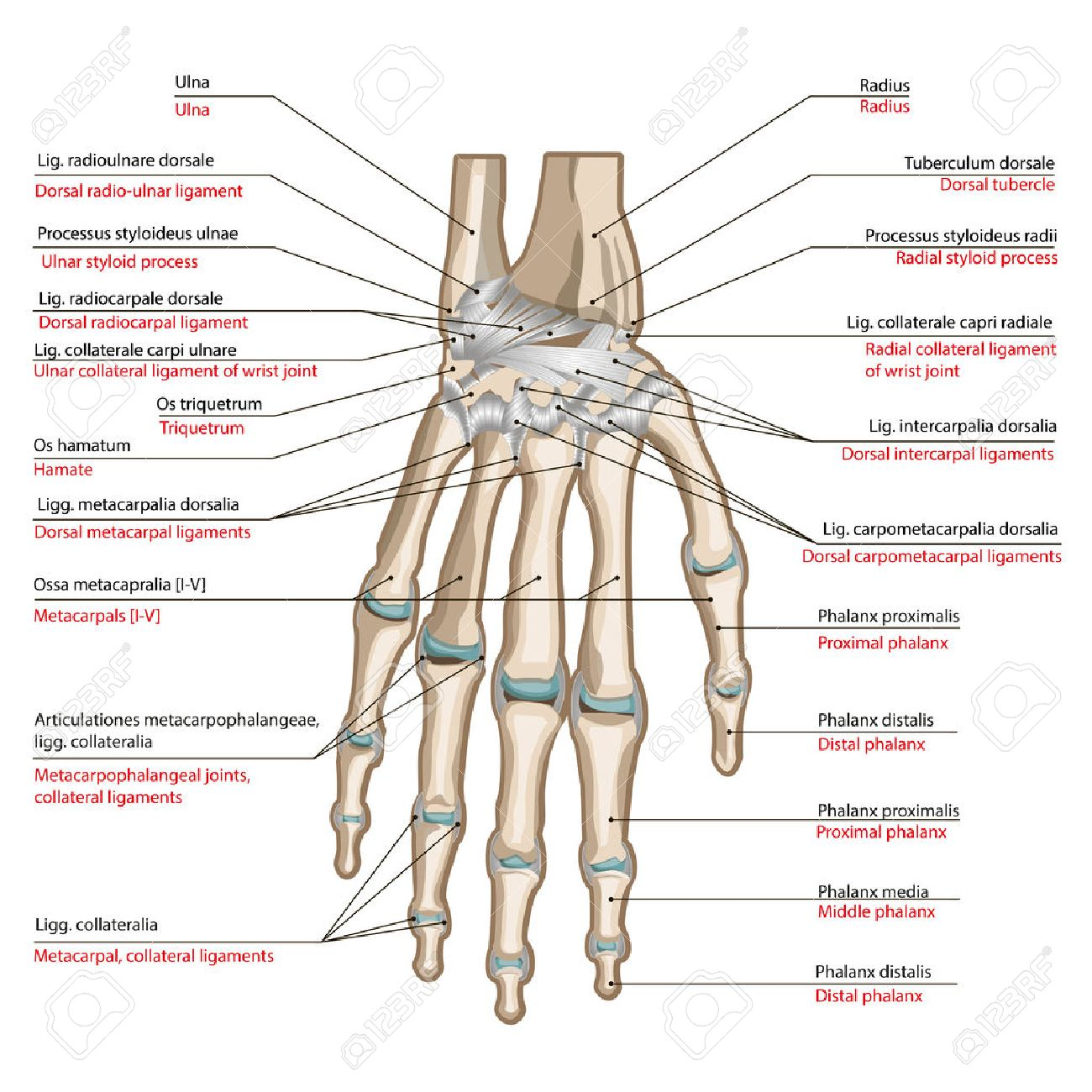 Bones And Ligaments Of The Back Side Of The Hand. Medical Poster ...