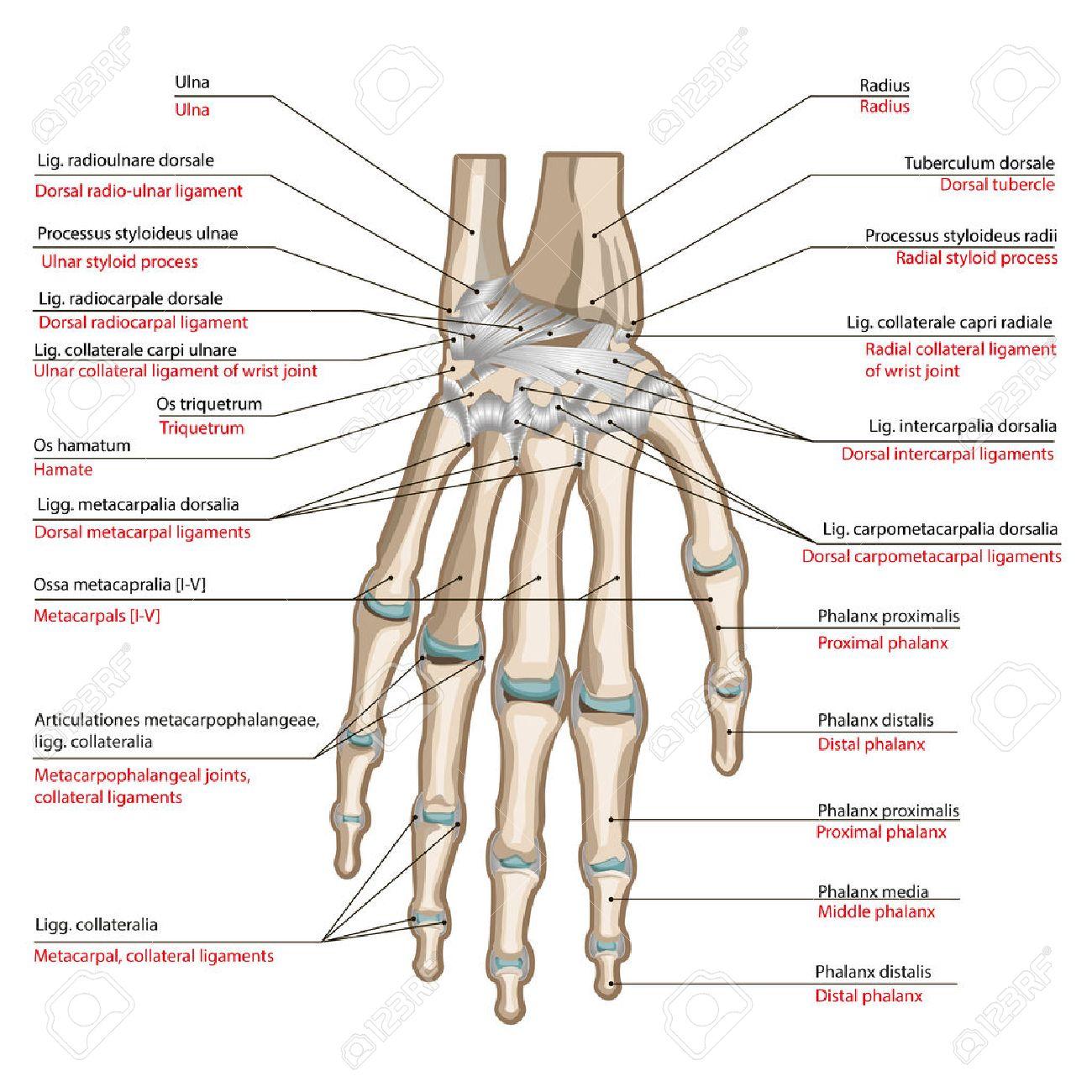 Knochen Und Bänder Der Rückseite Der Hand. Medizinisches Plakat ...