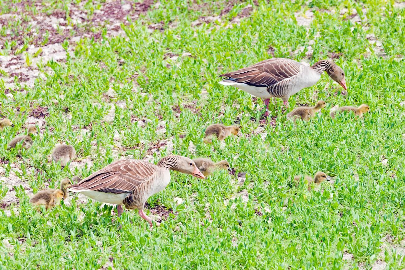 ducks in Tablas de Daimiel in Spain, natural park Stock Photo - 19103908